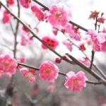 東山動植物園梅