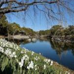 白鳥公園水仙