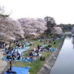 名古屋城お花見