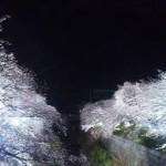 山崎川四季の道夜桜