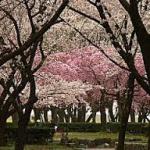 庄内緑地公園桜