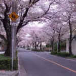 弥富公園桜
