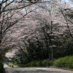 牧野ヶ池公園桜