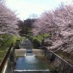 白沢渓谷桜