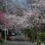 相生山緑地桜