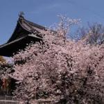 笠寺観音桜