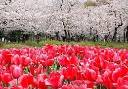 鶴舞公園桜