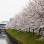 黒川、御用水路桜並木