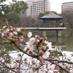 鶴舞公園桜見頃