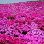 フラワーパーク江南芝桜