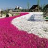 愛知県ミササガパーク芝桜