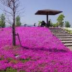 愛知県三ツ又池公園芝桜