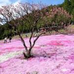 岐阜県國田家の芝桜