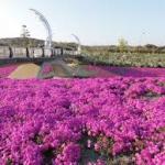 岡崎中央創業公園芝桜