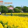 庄内緑地菜の花桜祭り