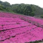 長島ダム芝桜
