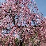 名古屋市農業センター梅祭り