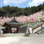 大懸神社梅祭り