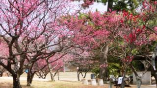 岡崎南公園梅祭り