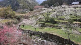川売の梅花梅祭り