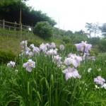 東公園花しょうぶ