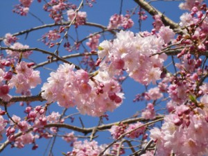 山崎川四季の道桜